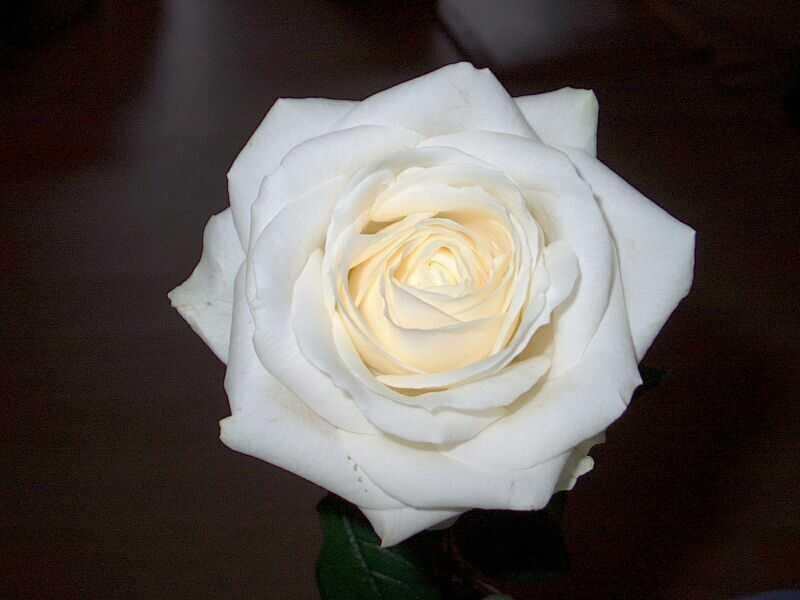 Mon amie la rose (blanche)